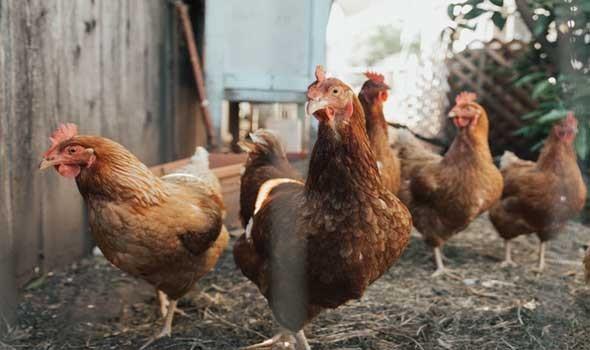 نفوق 1500 طير دجاج بمزرعة في إربد الاردنية والسلطات تحقق بالحادث