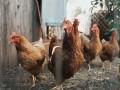 المغرب اليوم - نفوق 1500 طير دجاج بمزرعة في إربد الاردنية والسلطات تحقق بالحادث