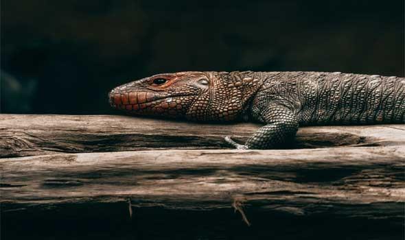 """اصطياد تمساح ضخم """"آكل للبشر"""" في ماليزيا بعدما أرعب الصيادين والسكان"""