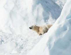 المغرب اليوم - حديقة حيوان تعدم أكبر دب قطبى فى أمريكا الشمالية بسبب سوء حالته الصحية