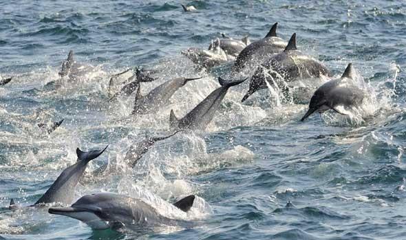 قتل مئات الدلافين بمضيق بحري في جزر فارو