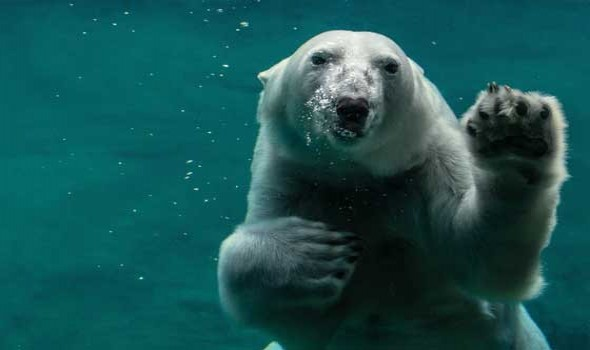 """نهاية تراجيدية لـ""""الدب الأكثر وحدة بالعالم"""" نفوق """"جامبولينا"""
