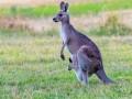 المغرب اليوم - العثور على مجموعة من حيوان الكنجارو نافقة في استراليا