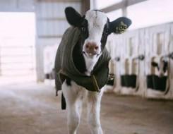 المغرب اليوم - مزرعة أبقار فريدة من نوعها عائمة فوق الماء في روتردام الهولندية بغية حماية المناخ