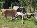 المغرب اليوم - منتجع النمر السيبيرى غابات صناعية فى الصين للحفاظ على الحيوانات التراثية من الانقراض